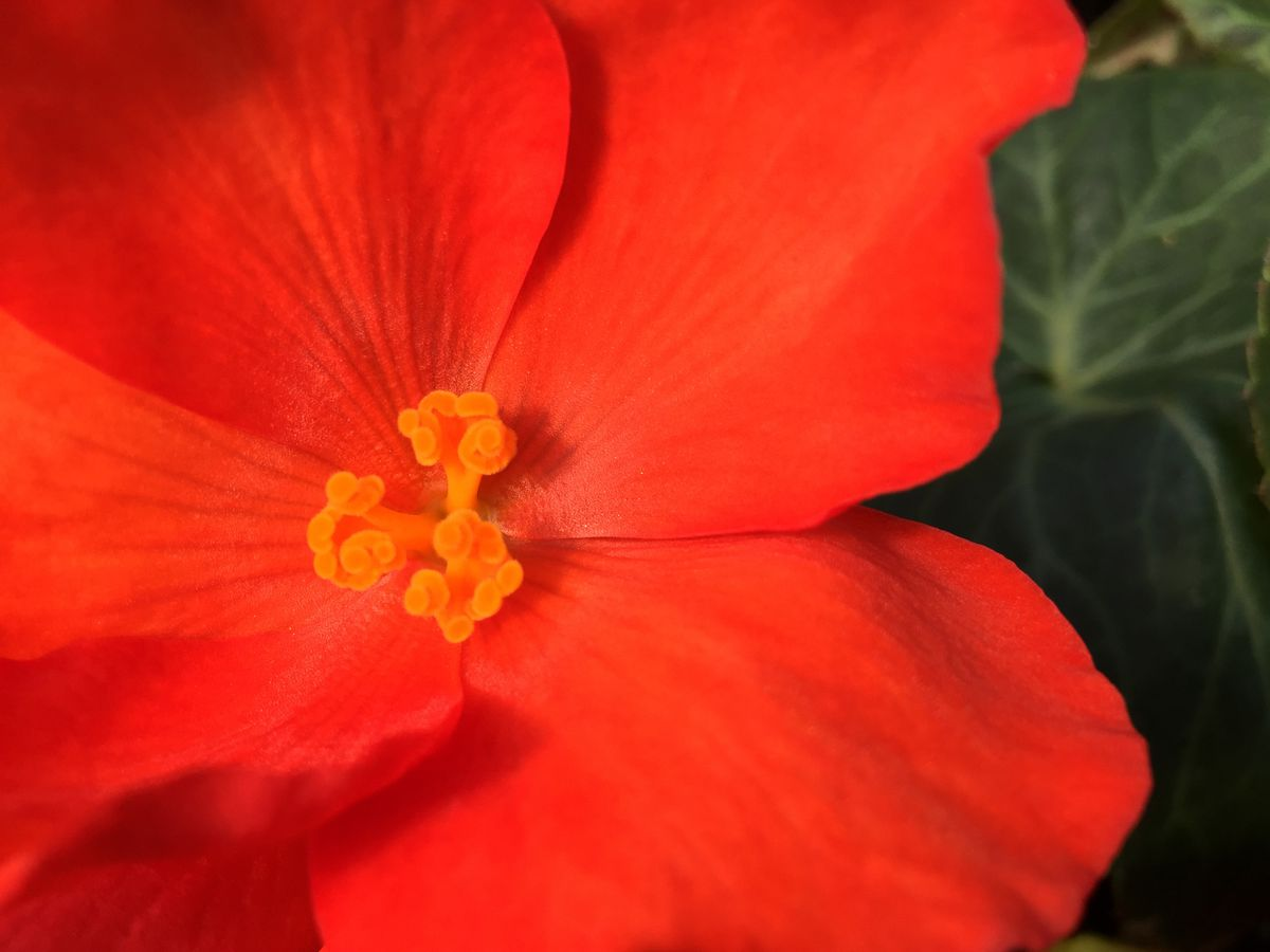 A begonia soaks up sunlight. Anchorage's Horticulture Complex May 22, 2017. Fibrous begonias you may have in your garden beds also make great houseplants. (Marc Lester / Alaska Dispatch News)