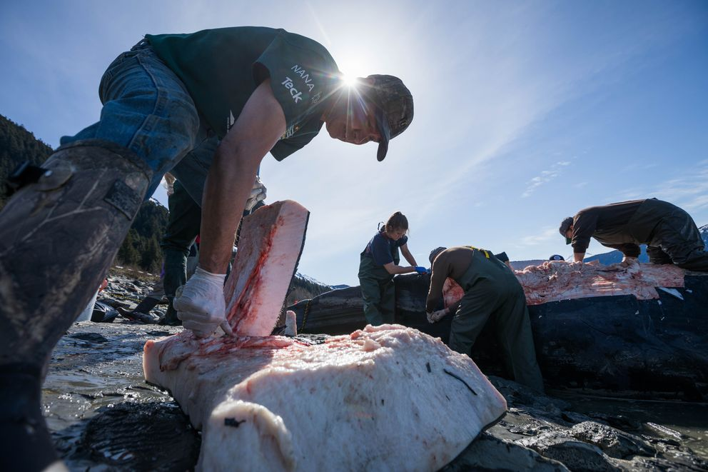 William Tate cuts pieces of muktuk from the humpback whale Wednesday. Tate, who is Alaska Native from Kotzebue, was planning on sharing the food with family. (Loren Holmes / ADN)