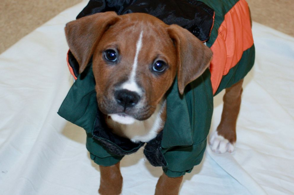 Skallagrimsson, a puppy whose name might be hacker-proof. MUST CREDIT: Bideawee.