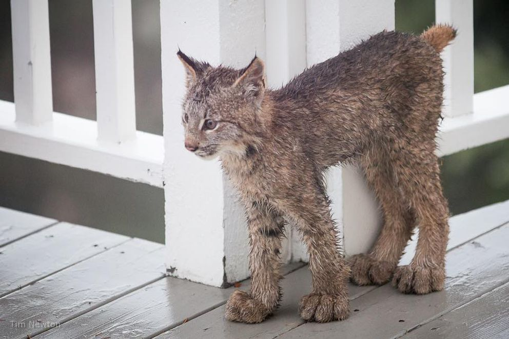 One of the eight lynx to visit Tim Newton's Hillside home stands for a moment by the deck railing. (Tim Newton / tim-newton.pixels.com/)