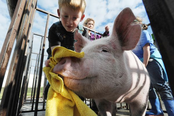 Tristin Winters, 10, dries off a purebred Yorkshire pig named Journey on Wednesday, August 22, that will be on display in the livestock pavilion during the Alaska State Fair in Palmer. The fair begins on Thursday and runs through Labor Day, Monday, Sept. 3. (Bill Roth / ADN)