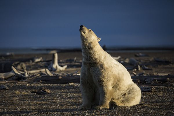 FILE-- A polar bear in Kaktovik, Alaska, Sept. 11, 2016. Polar bears roam the town during the fall as climate refugees, on land because the sea ice they rely on for hunting seals is receding. Federal wildlife officials on Jan. 9, 2017, called climate change the biggest threat to the survival of the polar bear and warned that without decisive action to combat global warming, the bears would almost certainly disappear from much of the Arctic. (Josh Haner/The New York Times)