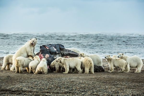 Polar bears congregate around a bowhead whale carcass on the beach in Kaktovik, Alaska on Sept 7, 2012. A record 80 polar bears were counted in the village the week this photo was taken, drawn to land by a lack of sea ice and the smell of rotting whale meat. (Loren Holmes / Alaska Dispatch News)