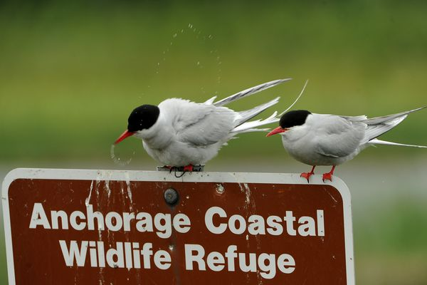 A pair of Arctic terns perches on an Anchorage Coastal Wildlife Refuge sign at Potter Marsh in south Anchorage, Alaska on Tuesday, June 20, 2017. (Bob Hallinen / Alaska Dispatch News)