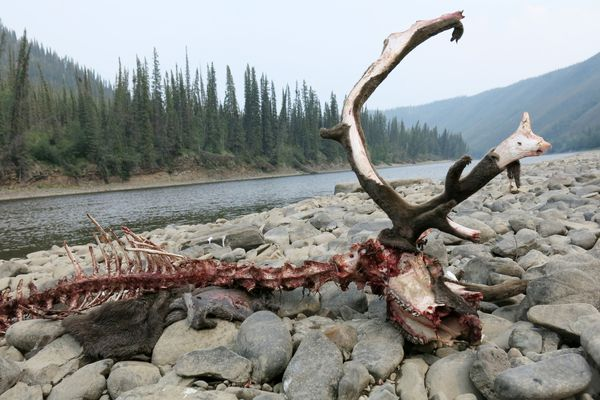 A caribou killed by wolves on a gravel bar of the Fortymile River in the Yukon Territory, just east of the Alaska border. (Ned Rozell)