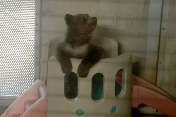 A brown bear cub is living at the Alaska Zoo in May 2018, before it is transported to the Northwest Trek Wildlife Park in Washington. His mother was killed this spring near Nome. (Photo provided by Alaska Zoo)