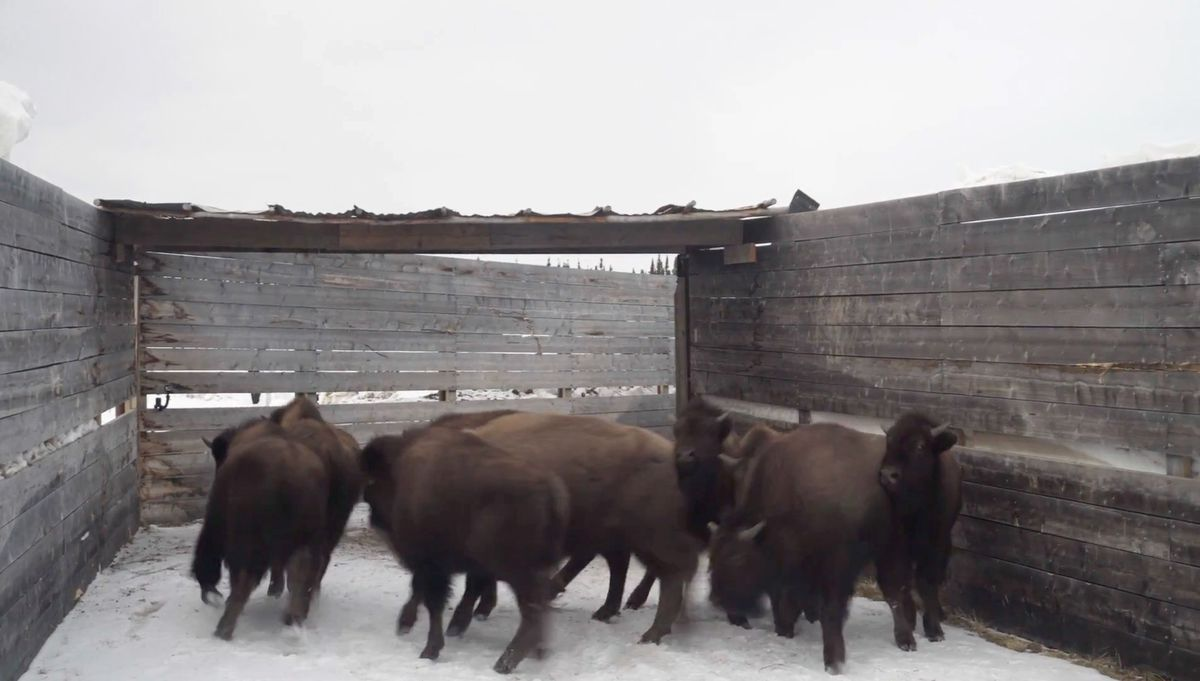 Bison from Alaska are heading to Pleistocene Park in Russia next week (May 2018). (Screengrab from Pleistocene Park fundraising video)
