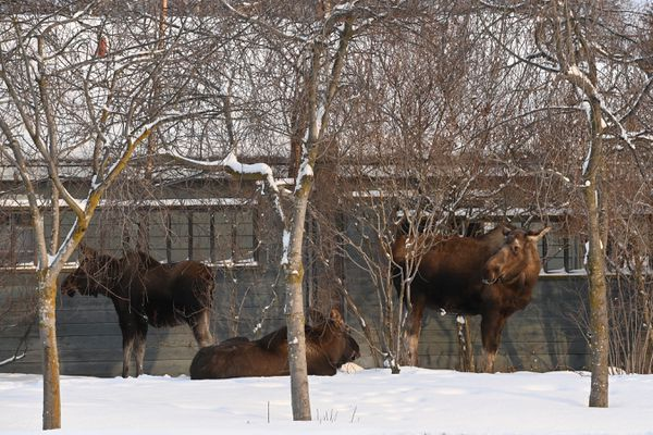 Moose family along A Street near downtown Anchorage on Thursday, Feb. 4, 2021. (Bill Roth / ADN)