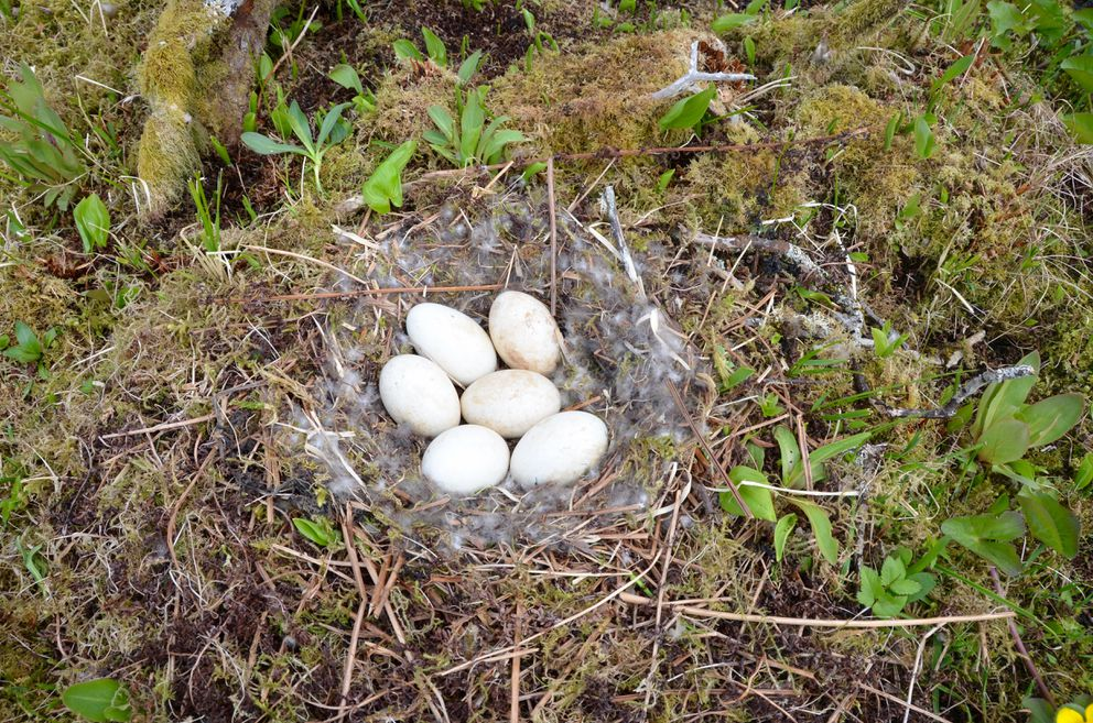 Dusky Canada goose nest, Middleton Island, May 2015. (Rick Sinnott)