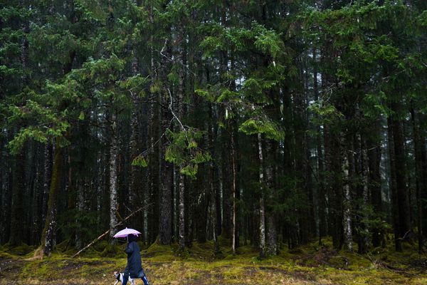 A dog gets a walk on a trail near the Mendenhall Glacier Visitors Center and the Tongass National Forest in a steady downpour on Thursday, October 22, 2015. (Marc Lester / Alaska Dispatch News )