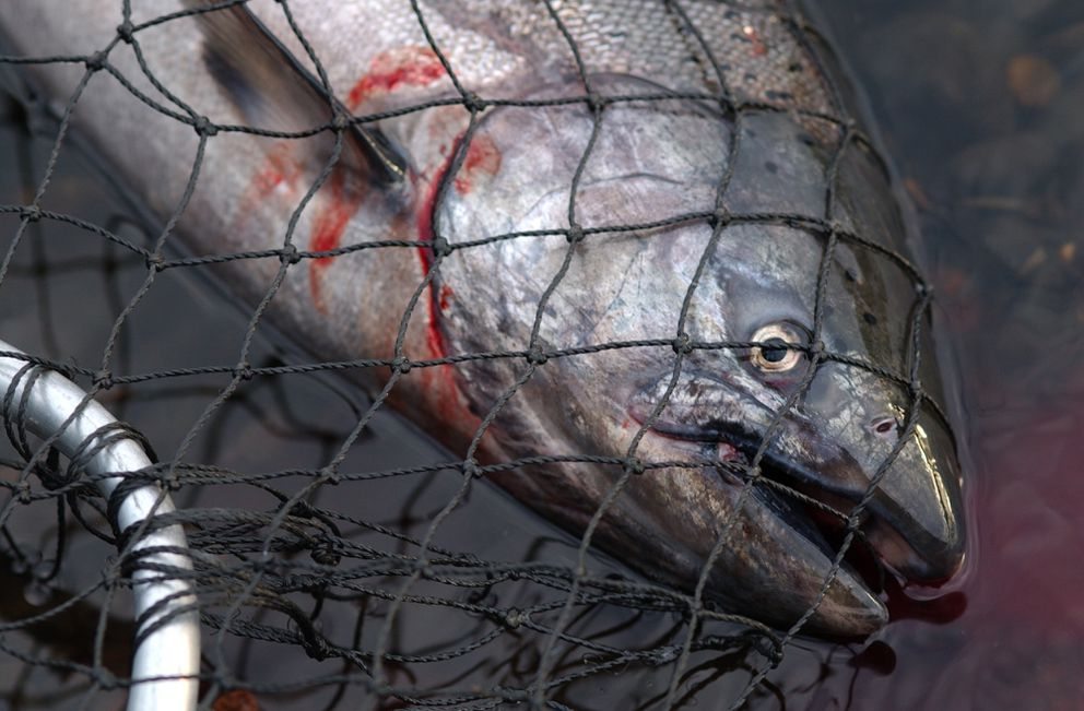 A king salmon lies in a net on the Deshka River on Friday, June 18, 2004. (Stephen Nowers / ADN archive)