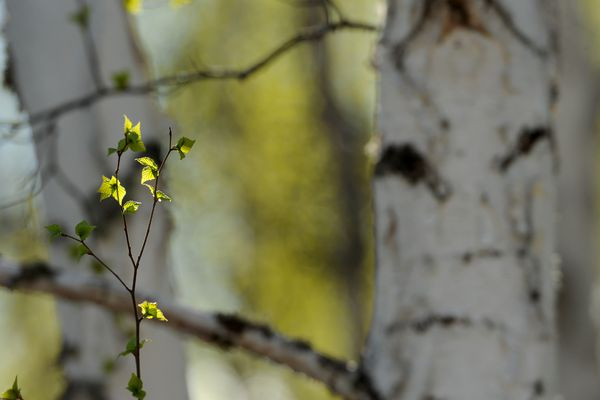 Spring leaves start to grow in a stand of birch trees long the Parks Highway in central on Saturday, May 13, 2017. (Bob Hallinen / Alaska Dispatch News)