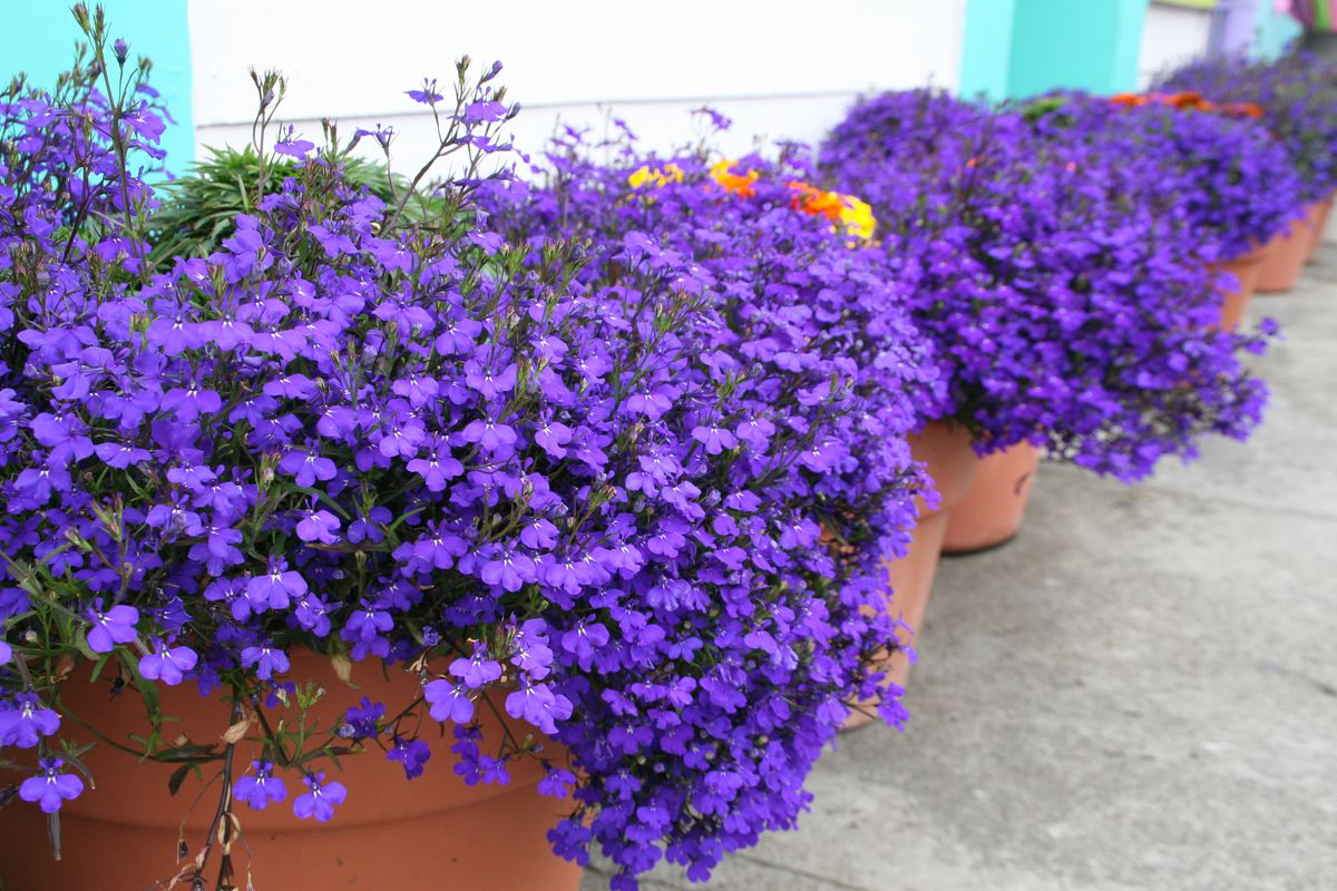 Early March is the time to start lobelia from seed in Alaska. (Getty Images)