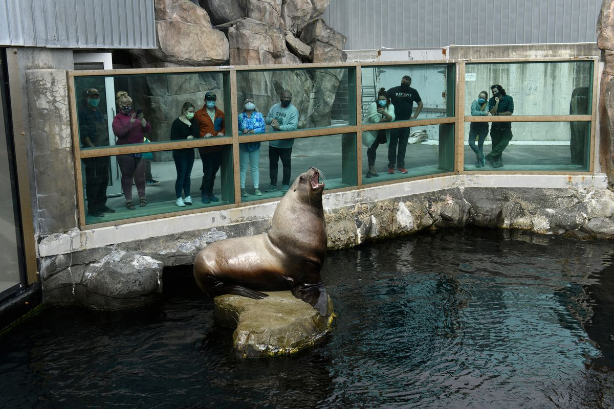 Pilot, a 1,900-pound male Steller sea lion, is watched by visitors to the Alaska SeaLife Center in Seward on July 6, 2020. (Marc Lester / ADN)