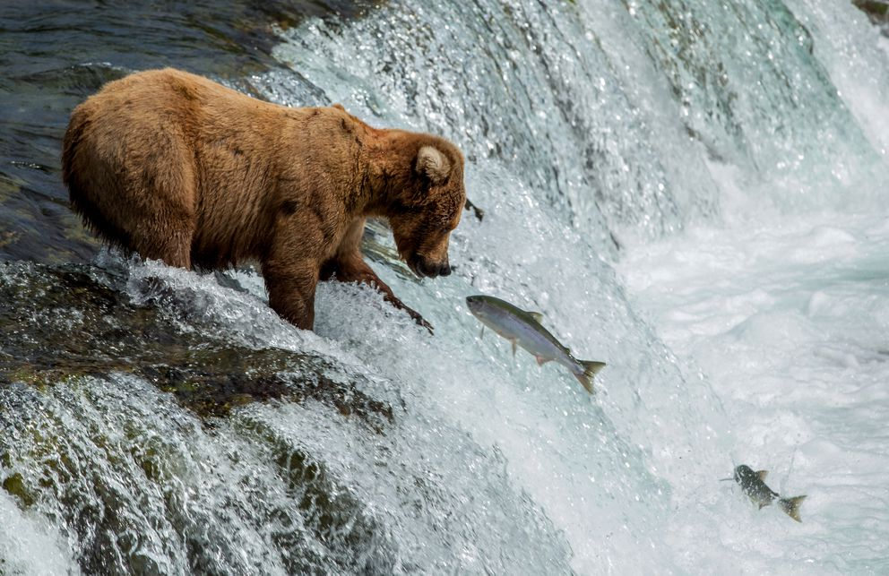 A brown bear works to catch a meal on Wednesday, July 1, 2015, at Brooks Falls in Katmai National Park and Preserve. (Tara Young / ADN archive)