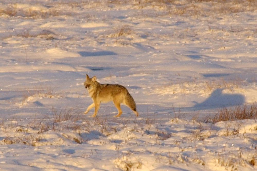 A coyote casts wary glances towards Seward Highway traffic as it retreats back into the woods Wednesday afternoon Nov. 7, 2001 on Potter Marsh. The animal was nosing around the marsh ice and snow at sunset. (Erik Hill/ADN)