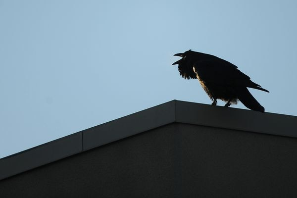 A raven calls out while perched on the roof of the Northway Mall in Anchorage, Alaska, on Monday, November 28, 2016. (Bob Hallinen / Alaska Dispatch News)