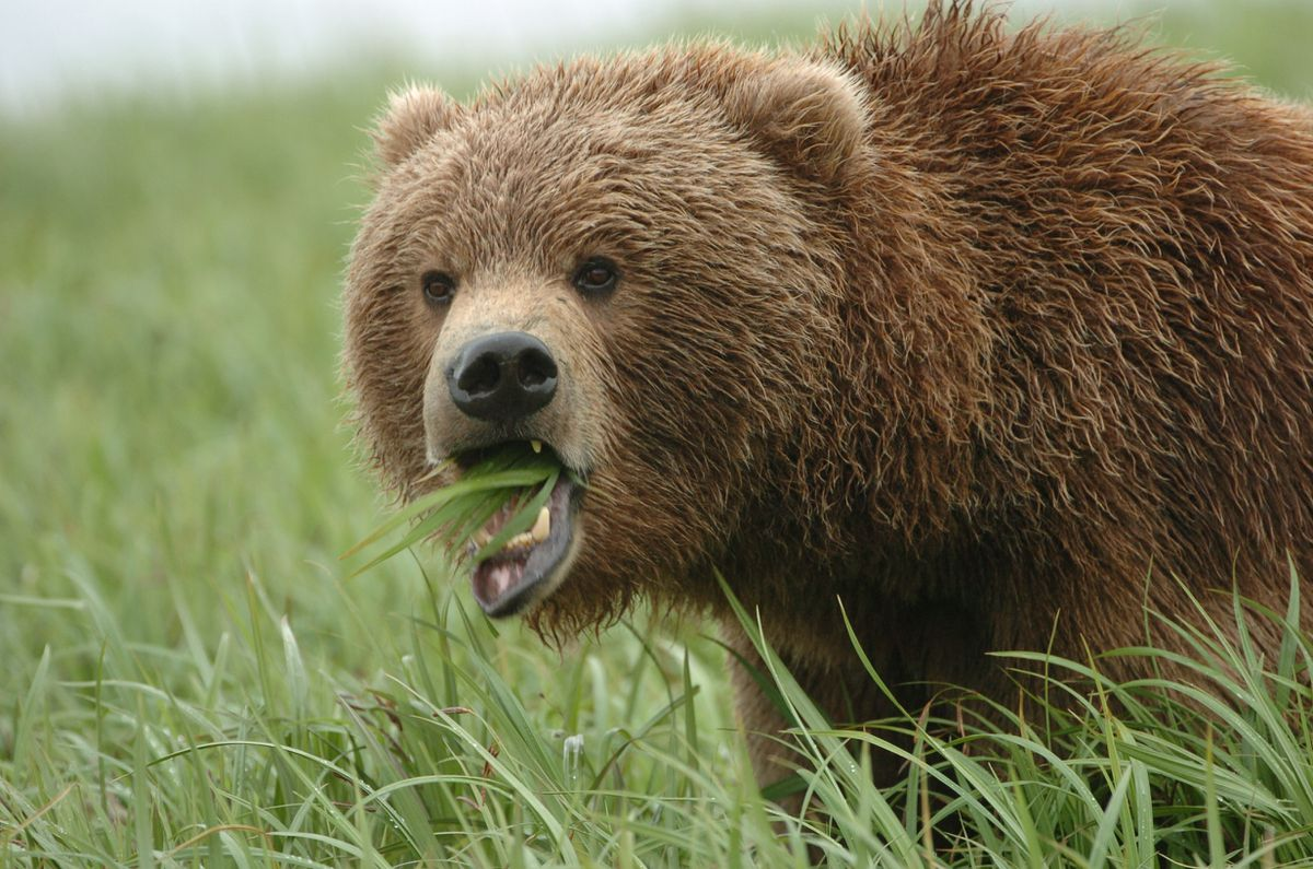 A female brown bear feeds on grass and sedge. (Bob Hallinen /ADN archive)