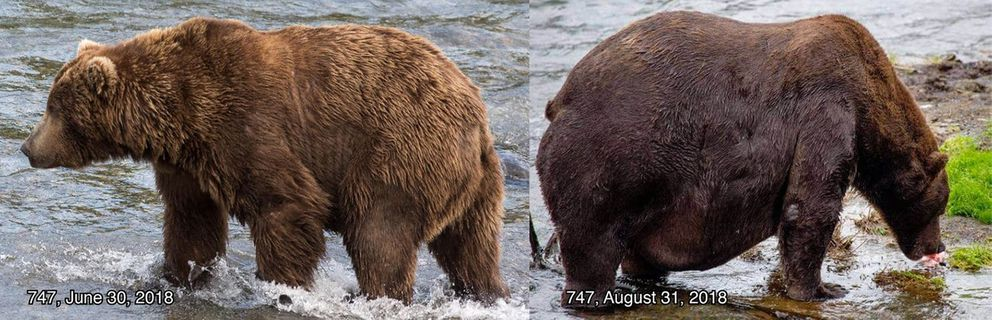747, a bear who has been compared to a Macy's Thanksgiving parade balloon, faced off with 409 in the Fat Bear Week finals. (Katmai National Park and Preserve)