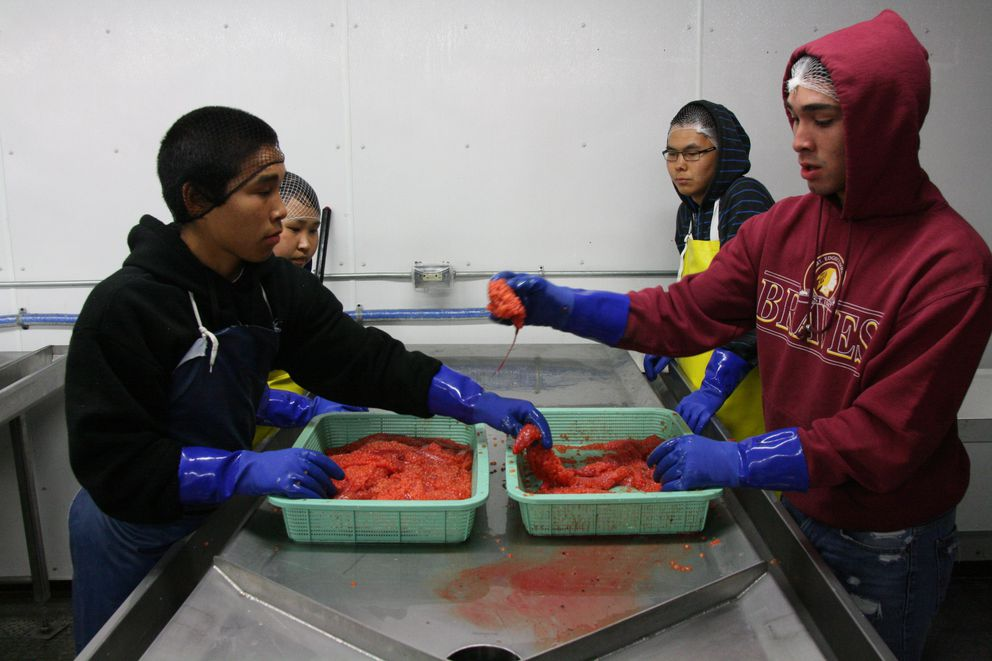 Davis Hootch, 17, left, and Jacob Kameroff, 18, begin to separate roe from the membrane sacks onJune 17 in theKwikpak Fisheries caviar-making room in Emmonak as it starts up for the first time this season. Rachel Phillip, 19, back left, and Thomas Oktoyak, 17, are looking on. (Lisa Demer / Alaska Dispatch News)