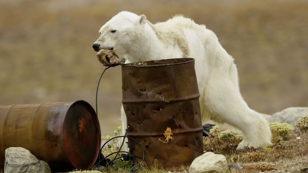 An emaciated polar beardigs into trash for food. It was photographed and filmed by Paul Nicklen and Cristina Mittermeier in Nunavut, Canada in late August 2017. (SeaLegacy / Caters)