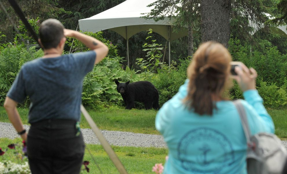 Tourists watch a black bear near The Hotel Alyeska in Girdwood on July 15. The sow's cubs were in the bushes behind her. (Bob Hallinen / Alaska Dispatch News)
