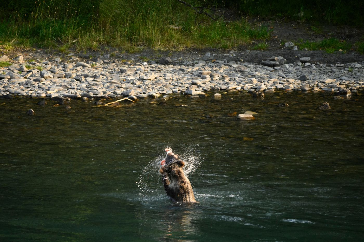 A brown bear yearling pulls an already-filleted salmon carcass from the Kenai River, something officials try to avoid. (Marc Lester / ADN)