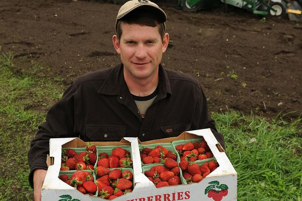Arthur Keyes shows off flats of strawberries picked at his Glacier Valley Farm after a farm tour for legislatures, commissioners and staff on Thursday, August 2013. (Bob Hallinen / ADN)