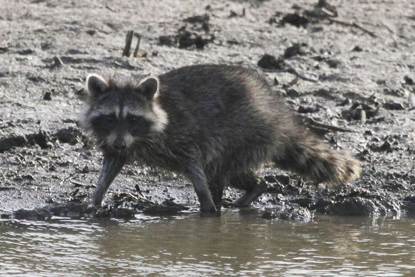 This year most raccoon pelts only bring $1, though some are still trapping the animals to prevent damage to the nests of ground-nesting birds like pheasant, quail and meadowlarks. (Michael Pearce/Wichita Eagle/TNS)