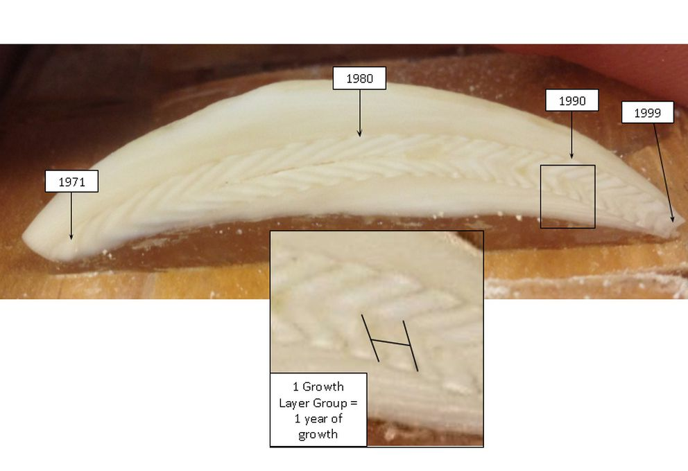A cross-section of a beluga tooth is labeled with years and denoting the growth layer group. This tooth was collected from a beluga that died in 1999. (Mark Nelson / Alaska Department of Fish and Game)