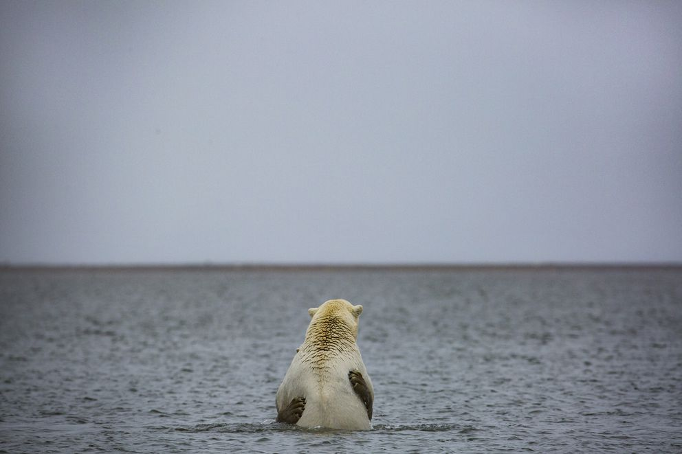 Polar bears hold each other in waters near the village of Kaktovik on Sept. 5. Polar bears roam the town during the fall as climate refugees, on land because the sea ice they rely on for hunting seals is receding. (Josh Haner / The New York Times)