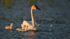 Trumpeter swans are newcomers to the nesting scene in Potter Marsh