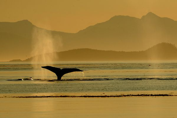 A humpback whale sounds in Frederick Sound off of Kupreanof Island north of Petersburg, AK on Saturday, July 21, 2018 at sunset. (Bob Hallinen / ADN)