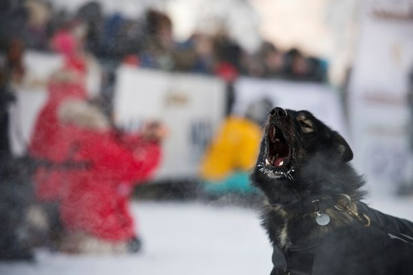 One of Richie Beattie's lead dogs barks before the start of the Yukon Quest International Sled Dog Race in Fairbanks on February 1, 2020. (Marc Lester / Anchorage Daily News)