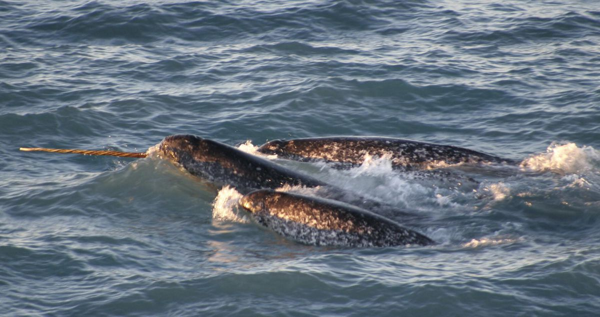 In a photo provided by the National Oceanic and Atmospheric Administration, a pod of narwhals surfaces off northern Canada in August, 2005. (Kristin Laidre/NOAA)