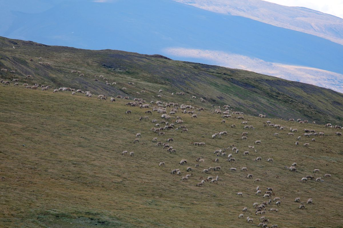 The perception of abundance must be measured against circumstances. Porcupine caribou herd in the Brooks Range in June 2017. (Photo by Steve Meyer)