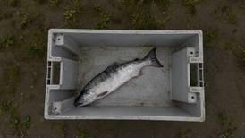 Amid an unprecedented collapse in Alaska Yukon River salmon, no one can say for certain why there are so few fish