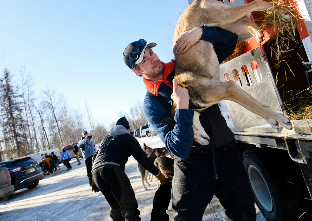 Defending Iditarod champion Joar Leifseth Ulsom unloads dogs from his truck on Wednesday. Leifseth Ulsom and his dog team were among several others stopped at the Iditarod's headquarters on Knik-Goose Bay Road in Wasilla for a final dog checkup by race veterinarians. (Marc Lester / ADN)