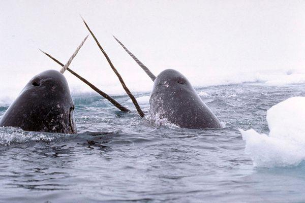 Narwhals breach in this file photo. Federal authorities have unveiled their investigation of an international smuggling ring that trafficked at least $1.5 million worth of the marine mammel's tusks, including 19 shipped to Alaska.