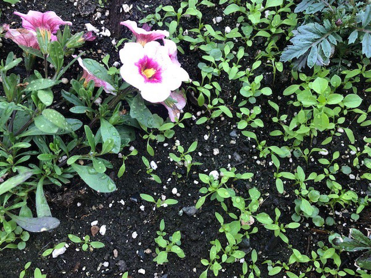 Chickweed sprouting in an Alaska garden. (ADN/Julia O'Malley)