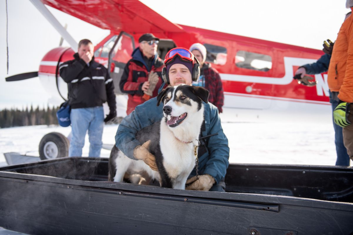 Eli High, a guide manager at Winterlake Lodge, offloads 2-year-old sled dog Dillon, who escaped his tether early on Monday. Dillon was flown back to Finger Lake, where he lives, after running after Iditarod teams to the next checkpoint at Rainy Pass. (Photo courtesy Scott Dickerson / Dickerson Stills + Motion.)