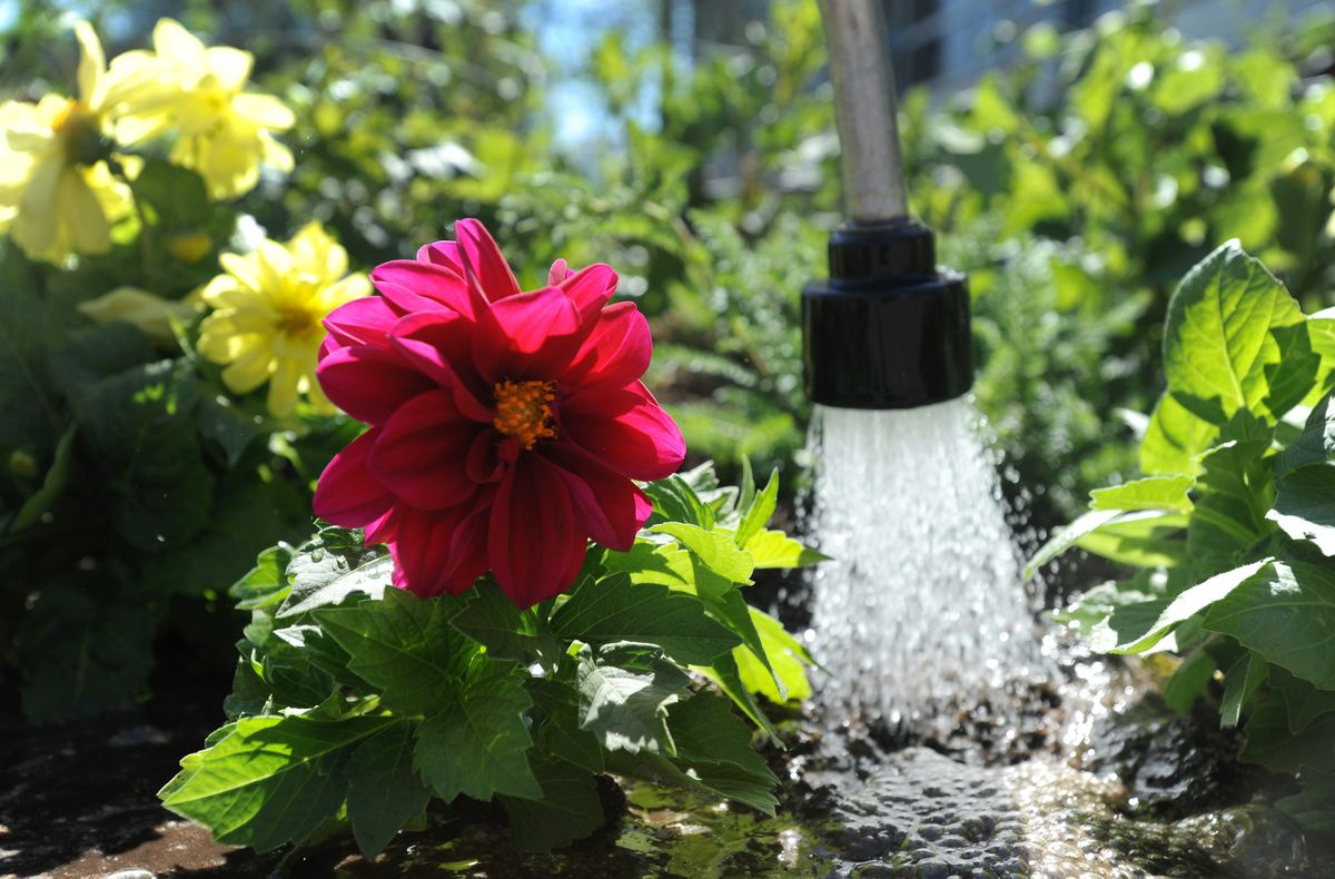 Dahlias and yarrow get a good soaking in a flower bed at Town Square Park in downtown Anchorage on May 20, 2014. (Bill Roth / ADN)