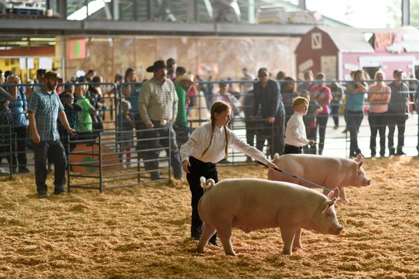 Samara Johnson, 13, shows her pig, Untouchable, during a 4H competition. (Marc Lester / ADN)