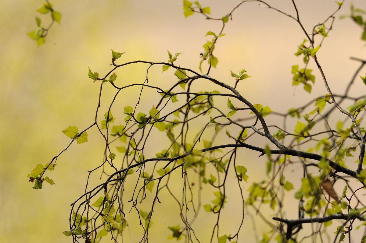 Birch leaves sprout near Potter Marsh. (Bob Hallinen / ADN)