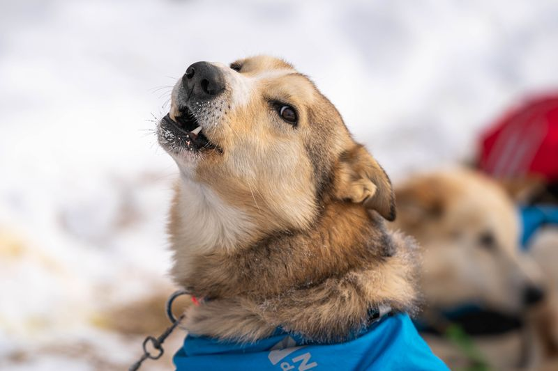 Wallace, a dog in Kristy Berington's team, howls before leaving Takotna on Thursday, March 12, 2020 during the Iditarod Trail Sled Dog Race. (Loren Holmes / ADN)