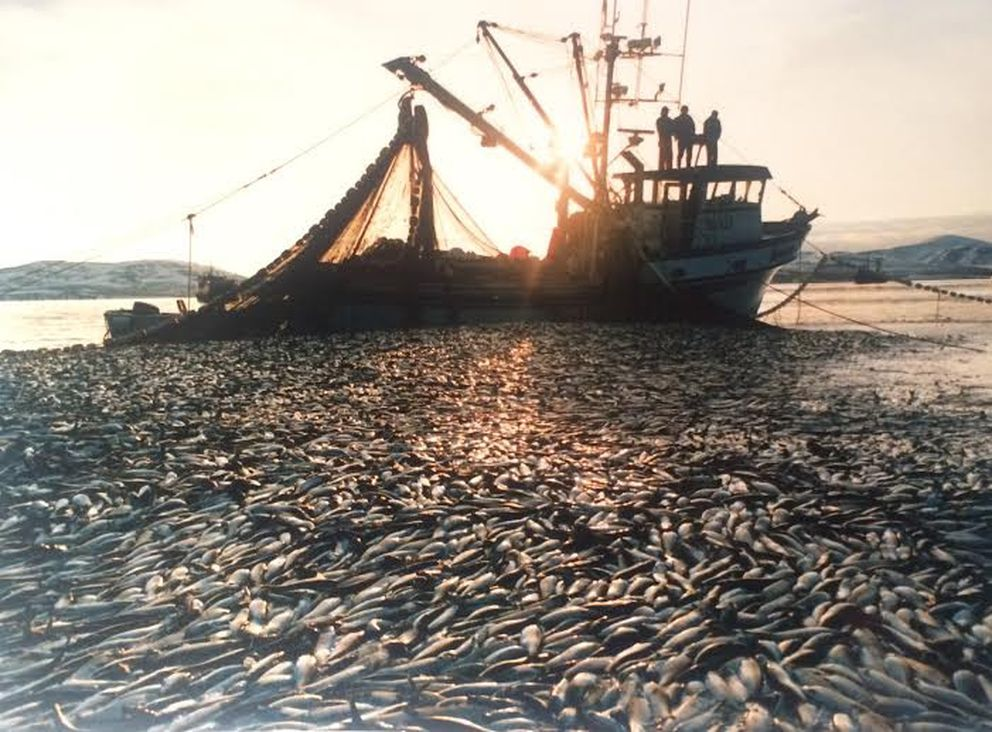 On May 17, 1988, Dean Anderson in the F/V Susan Gale made one of the largest sets in herring history: 660 tons worth $600,000. (Dean Anderson)