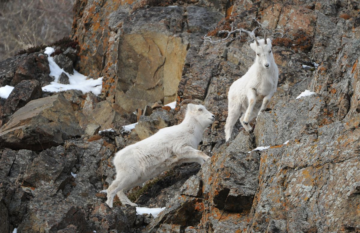A pair of Dall sheep feed on the cliffs along Turnagain Arm and the Seward Highway south of Anchorage, Alaska on Saturday, March 10, 2018. (Bob Hallinen / ADN)