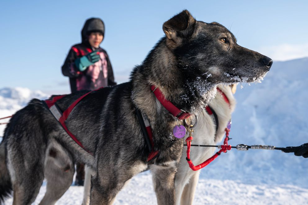 A dog in Laura Neese's team has frost on its whiskers after arriving in Takotna on Wednesday, March 11, 2020 during the Iditarod Trail Sled Dog Race. (Loren Holmes / ADN)