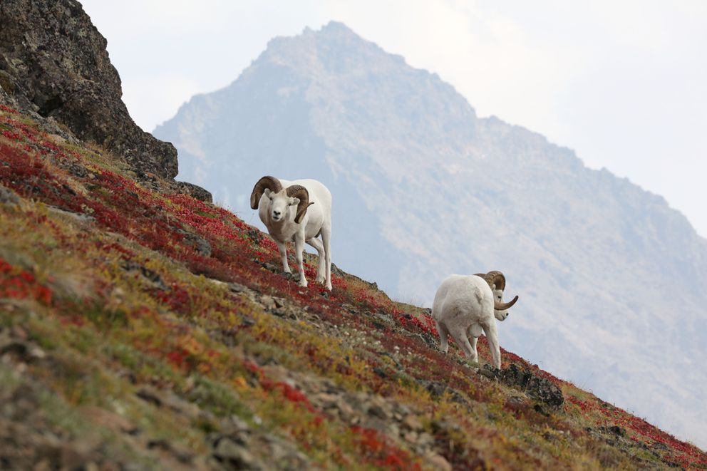 Dall Sheep with fire smoke in background. Photographed August 2019, in the Chugach Mountains. (Photo by Steve Meyer)