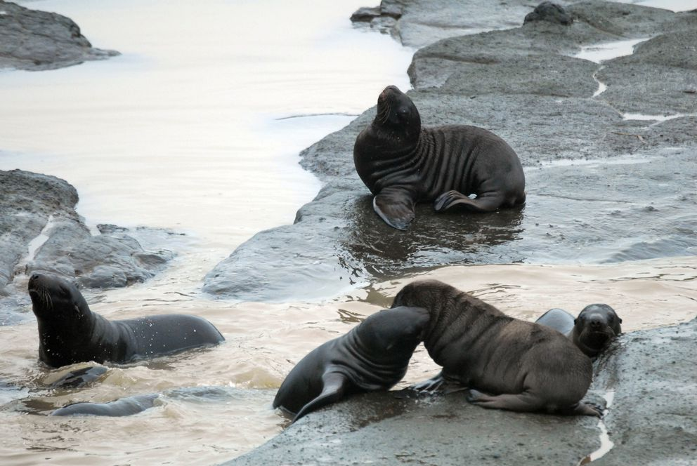 Steller sea lion pups, approximately a month old, spotted playing in pools on Ulak Island (NOAA Fisheries)